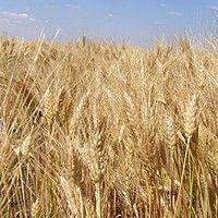 Семена озимой пшеницы Калидон, Seed Grain Company