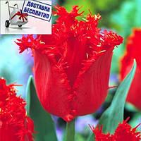 Луковичные растения Тюльпан Valerij Georgiev (бахр)