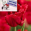 Луковичные растения Тюльпан Red Wing (бахр)