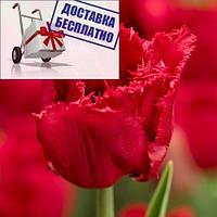 Луковичные растения Тюльпан Red Wing (бахр), фото 1