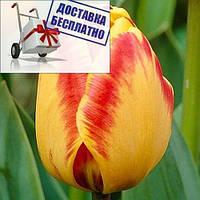 Луковичные растения Banja Luka (триумф)
