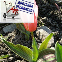 Луковичные растения Happy Generation (триумф), фото 1