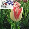 Луковичные растения Mata Hari  (триумф)