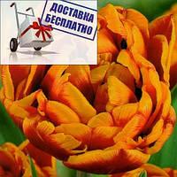 Луковичные растения Тюльпан Allegretto (махров), фото 1