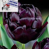 Луковичные растения Тюльпан Black Hero (махров), фото 1