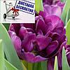 Луковичные растения Тюльпан Blue Diamond (махров)