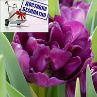 Луковичные растения Тюльпан Blue Diamond (махров), фото 1