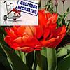 Луковичные растения Тюльпан Electra (махров)