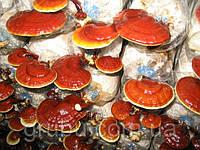 Бизнес на грибах рейши