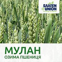 Пшеница озимая Мулан, Затен Юнион