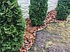 Кора сосновая крупная (мешок 50 л.) 7-15 см, фото 5