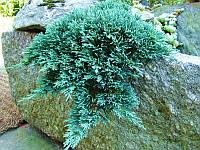 Можжевельник горизонтальный Айс Блю Р9 (Juniperus horizontalis Icee Blue)