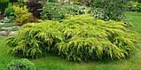 Можжевельник средний Голд Кост (Juniperus x media Gold Coast), фото 2