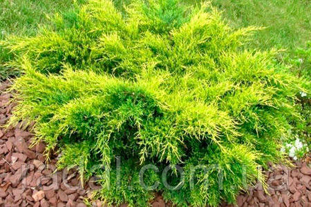 Можжевельник средний Голд Кост (Juniperus x media Gold Coast)
