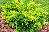 Можжевельник средний Голд Кост (Juniperus x media Gold Coast), фото 1