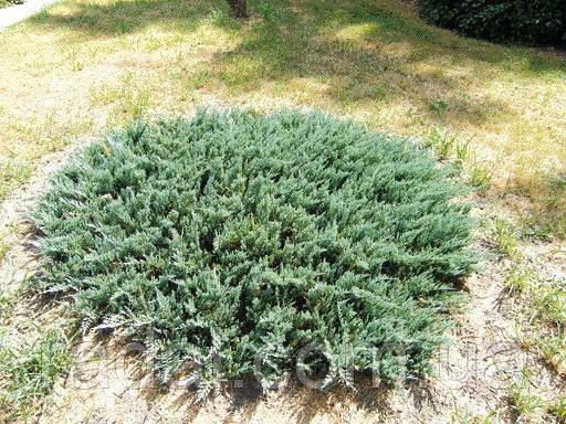 Можжевельник горизонтальный Блю Мун Р9 (Juniperus horizontalis Blue Moon)