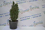 "Кипарисовик лавсона ""Ellwoodii"", 40-50 см (2л.), фото 3"