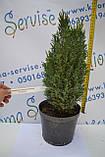 "Кипарисовик лавсона ""Ellwoodii"", 40-50 см (2л.), фото 2"