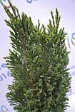 "Кипарисовик лавсона ""Ellwoodii"", 40-50 см (2л.), фото 4"