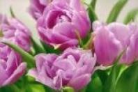 """Фотообои """"Тюльпаны 144х207 (9Л)"""" Люкс"""