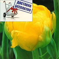 Луковичные растения Тюльпан Thule Exotic (махров)