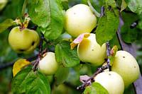 Яблоки Антоновка, высший сорт 1 кг,  оптом