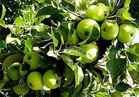 Яблоки Ренет Симиренко, высший сорт 1 кг,  оптом