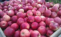 Яблоки Флорина, высший сорт 1 кг,  оптом