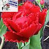 Луковичные растения Тюльпан Lion King (махр+бахр)