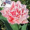 Луковичные растения Тюльпан Queesland (махр+бахр)