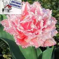 Луковичные растения Тюльпан Queesland (махр+бахр), фото 1