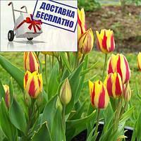 Луковичные растения Тюльпан Colour Spectacle (мультиф)