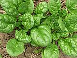 Семена, Шпинат Матадор / Matador (Банка 500 грамм) ТМ Hortus (Италия), фото 2