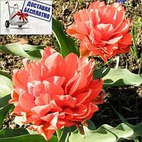 Луковичные растения Тюльпан Toronto Double (мультиф)