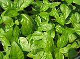 Семена, Базилик Геновезе / Genovese (банка 500 грамм), Hortus (Италия), фото 2