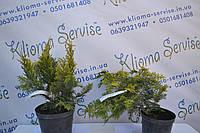 """Кипарисовик лавсона """"Ivonne"""", 40-50 см (5л.), фото 1"""
