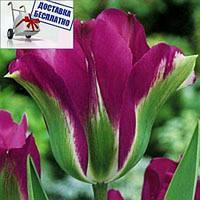 Луковичные растения Тюльпан Violet Bird (зеленоцв)