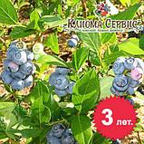 Саженцы голубики Блюголд, 4-летние в горшке 5 л,куст.,2-4 побега, фото 2