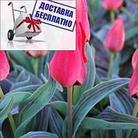 Луковичные растения Тюльпан Diantha  (грей)