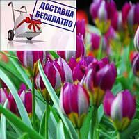 Луковицы тюльпана ботанического Pulchella Persian Pearl