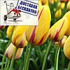 Луковичные растения Тюльпан Hocus Pocus (гиганский)
