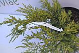 Можжевельник средний Голд Кост(Gold Coast) C3 40-50см, фото 4