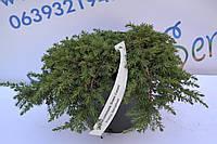 """Можжевельник обычный """"Green Carpet"""" D 15-20 (C3), фото 1"""