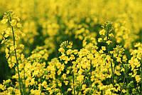 В этом сезоне приятно радуют темпы уборки и урожайность рапса