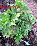 Хризантема АУСМА (рання-серпень), фото 6
