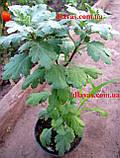 Хризантема АУСМА (рання-серпень), фото 5