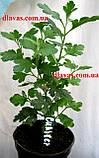 Хризантема АУСМА (рання-серпень), фото 8