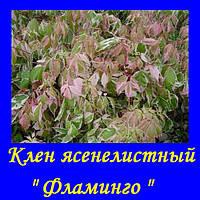 "Клен ясенелистный ""ФЛАМИНГО""  ( саженец 2года)"