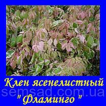 """Клен ясенелистный """"ФЛАМИНГО"""" \ Acer negundo Flamingo ( саженцы 2года) привитой, фото 3"""