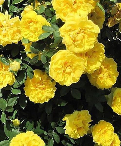 Роза парковая Консуэлла (Konsuella)